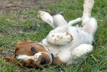 "Cardigan Weslh Corgi,Pembroke Welh Corgi,Welh Terrier,Sealyham Terrier,Welh Springer Spanie(Wales)l, / <meta name=""pinterest"" content=""nopin"" />"