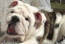 English Bulldog, American Bulldog, Frech Bulldog.