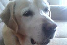 Leo ( Labrador Retriever )  Canada / DON'T TAKE MORE THAN 5 PINS!  THANK YOU!!