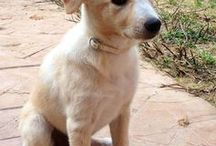 "Canaan Dog ( Israel) / <meta name=""pinterest"" content=""nopin"" />"