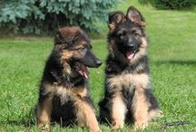 German Shepherd (Germany)
