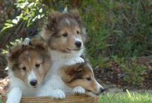 Collie,Shetland Sheepdog,Bearded Collie( Scotland ). / DON'T TAKE MORE THAN 5 PINS!  THANK YOU!!