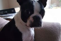 Peanut ,Boston Terrier ( United States )