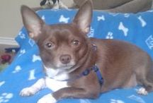 "Chihuahua ( Mexico ) / <meta name=""pinterest"" content=""nopin"" />"
