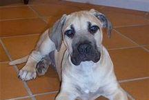 "South African Boerboel,African Wild Dog / <meta name=""pinterest"" content=""nopin"" />"