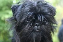 Affenpinscher, Miniature Pinscher ( Germany )