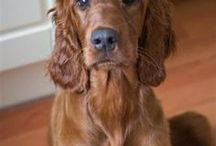 Irish Setter , Irish Water Spaniel ( Ireland )