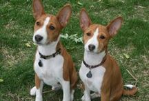 Basenji (Central Arica , Zaire and the Congo )