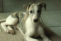 Whippet ( England )