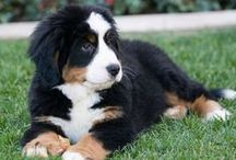 Bernese Mountain Dog ( Szwitzerland )