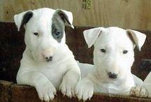 Bedlington Terrier, Bull Terrier, Fox Terrier (Wire)  ( England )