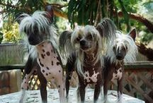 Pekingese,Chinese Crested Dog ( China )