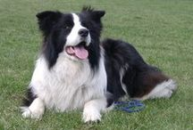 Border Collie ( Great Britain )