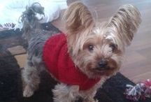 Lupo ,Yorkshire Terrier  ( England ) / PIN WITH RESPECT, THANKS!