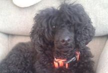 Toy Poodle , Standar and Miniature (Central Europe, Germany )