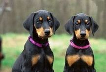 Doberman Pinscher ( Germany )