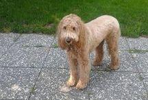 Goldendoodle ( Golden Retriever/Poodle )