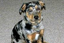 "Catahoula Leopard ( United States ) / <meta name=""pinterest"" content=""nopin"" />"