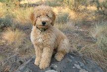 "Labradoodle( Labrador Retriever /Poodle ) / <meta name=""pinterest"" content=""nopin"" />"