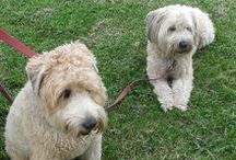 Wheaten Terrier ,Kerry Blue Terrier ( Ireland )