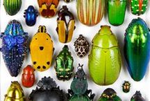 Coléoptères / Ailes antérieures durcies (élytres)  cachant plus ou moins les ailes  postérieures +Pas de pinces au bout de l'abdomen