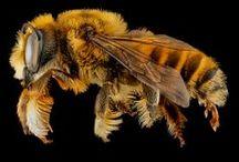 Hyménoptères / Ailes non durcies et bien visibles + Deux paires d'ailes + Ailes non recouvertes d'écailles colorées + Ailes fermées au repos + Ailes le long du corps (à plat)