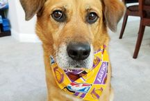 Everything Lakers for your pet! / You love the #Lakers, Your #pet loves the Lakers, we have Lakers gear here!   #lakers #lakersdogbandana #lakersdog #lakerspet #lakerspetgear #preciouspawprints  http://www.PreciousPawPrints.com http://PreciousPawPrints.etsy.com