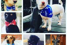 MLB Dog Bandanas + Bowties / #dogbandana #dogbowtie #dogbandanas #dogbowties #preciouspawprints  http://www.PreciousPawPrints.com http://PreciousPawPrints.etsy.com