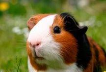Guinea Pig Love - Adorable Piggies / Guinea Pig Love - Adorable Piggies