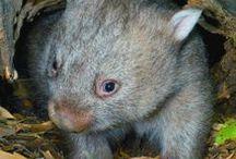 Wombat Love - Australia Wildlife