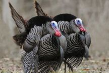 All About Turkeys / by Calvin College Ecosystem Preserve