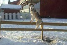 Husky activities + humor
