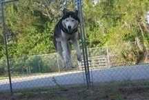 EVENTS: Siberian Husky Rescue of Florida