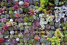Living Wall plants / Living Walls can comprise many different beautiful plants - these are some of the wonderful plants to be found in a living wall.