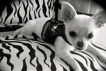 Chihuahuas / Temperamento: Vivaz, Devoto, Alerta, Rápido, Valiente