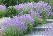 Lavandula - Provence - Mediterranean