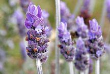 Lavandula / Botanical Taxonomy