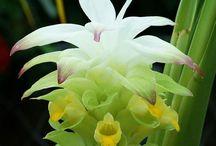 Cucurma (Tumeric) / Botanical Taxonomy