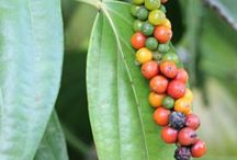 Piper (Black Pepper) / Botanical Taxonomy