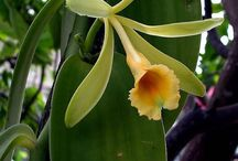Vanilla / Botanical Taxonomy