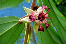 Theobroma (Cocoa) / Botanical Taxonomy