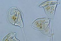 Vorticella / Botanical Taxonomy