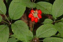 Panax (Ginseng) / Botanical Taxonomy
