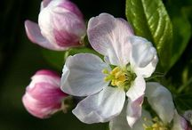 Malus (Apple) / Botanical Taxonomy