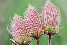 Geum (Prairie Smoke) / Botanical Taxonomy