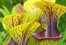 Sarracenia / Botanical Taxonomy