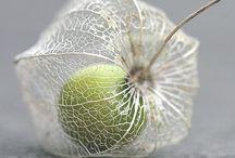 Physalis (Chinese Lantern) / Botanical Taxonomy