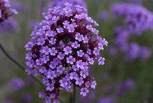 Verbena (Vervain) / Botanical Taxonomy