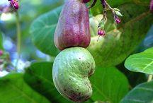 Anacardium (Cashew) / Botanical Taxonomy