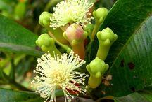 Syzygium (Clove) / Botanical Taxonomy